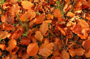Big-orange-leaves