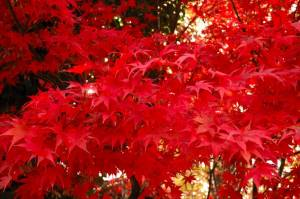 Tivoli-extra-red-leaves
